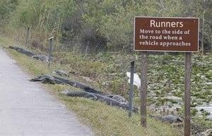 alligators2